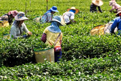 Workers harvesting green tea in Viet Nam