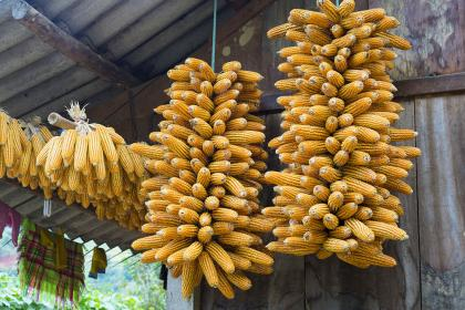 Boosting incomes and reducing vulnerabilities of maize farmers in Laos