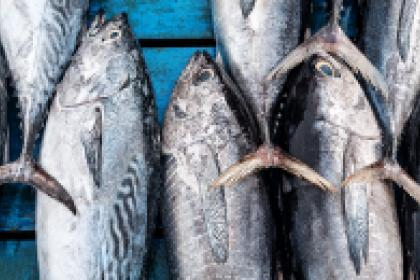 Barbados bets on tuna to boost the value of fish exports
