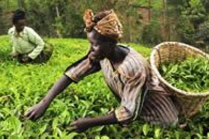Organic farming in Africa has rich potential, but is increasingly underfunded