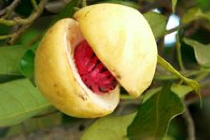 Nutmeg revival helps Aceh, Indonesia, recover after years of conflict